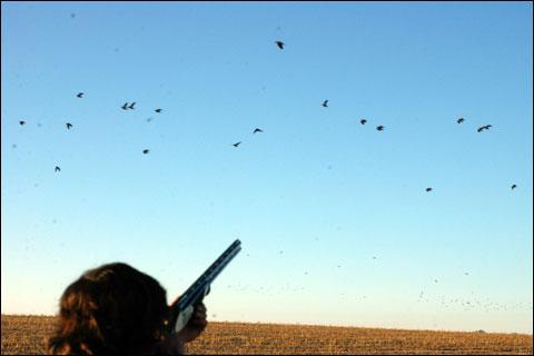 Uruguay pigeons in flight