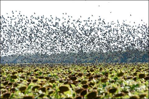 Boliva Dove Hunting