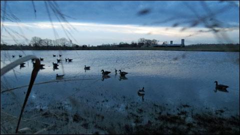 Goose decoy spread Eastern Shore