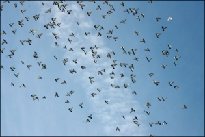 The Secrets to Pest Pigeon Shooting