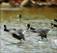Coot Shoot! Why the Ignored Birds Can Provide Action on a Humdrum Day and a Tasty Meal